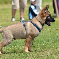 puppy training northern beaches